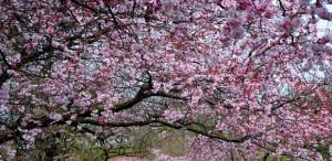Battersea Park Blossom